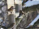 roselin pourpre femelle, deux tarins des pins et un chardonneret