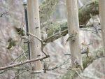 Abondance de Tarins des pins deux