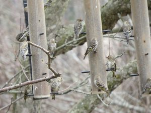 Abondance de Tarins des pins un