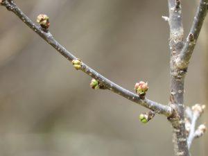 Bourgeons du prunier