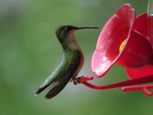 Colibri femelle bombant le torse