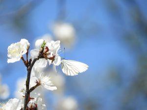 Pieride butinant sur une fleur de prunier