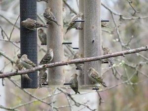Quinze Tarins des pins