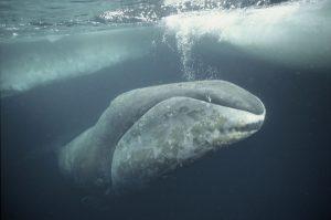 Bowhead whale Arctic