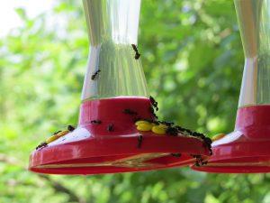 envahi par les fourmis