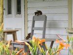 Ecureuils, deux jeunes de lannee