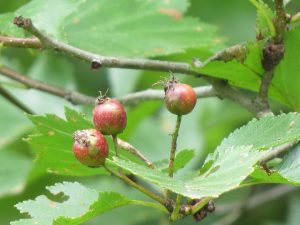 Fruits de laubepine