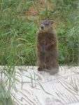 Marmotte deux