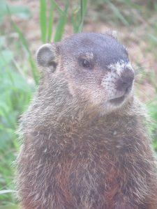 Marmotte un