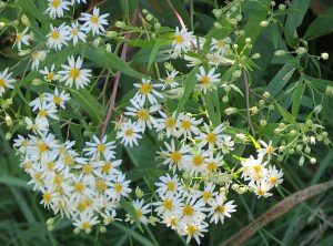 Asters blancsJPG