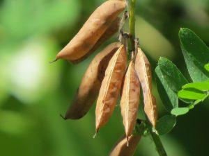 Fruits de la Vesce jargeau