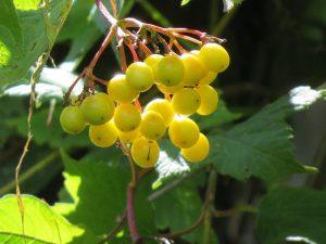 Le pimbina sous le soleil en août