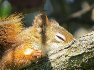 L'écureuil dort