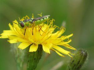 Insecte vert