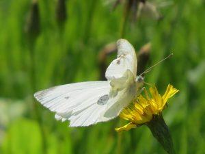 pieride-aux-ailes-anterieures-froissees