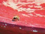abeille-buvant-deux