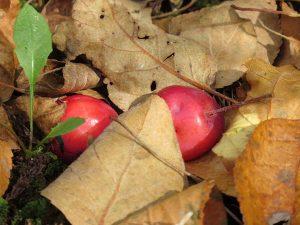 pommettes-sous-feuilles