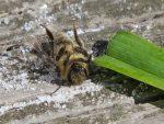 abeille-a-lenvers