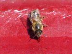abeille-buvant