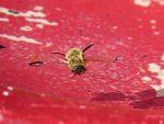abeille-tombee-dans-labreuvoir-deux