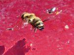 abeille-tombee-dans-labreuvoir-un