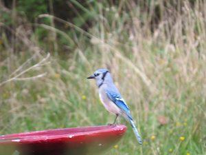 geai-bleu-a-labreuvoir