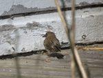 junco-mangeant-une-sauterelle