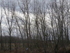 le-vent-fait-gronder-les-arbres