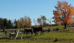 deux-lamas-deux-chevaux