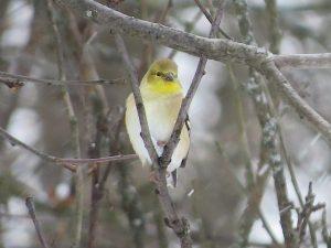 chardonneret-jaune