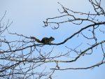ecureuil-roux-sur-une-branche-dun-grand-peuplier-baumier-deux