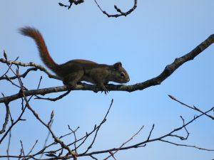 ecureuil-roux-sur-une-branche-dun-grand-peuplier-baumier-un