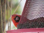 cardinal-rouge-deux