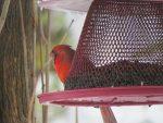 cardinal-rouge-quatre