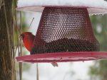 cardinal-rouge-un