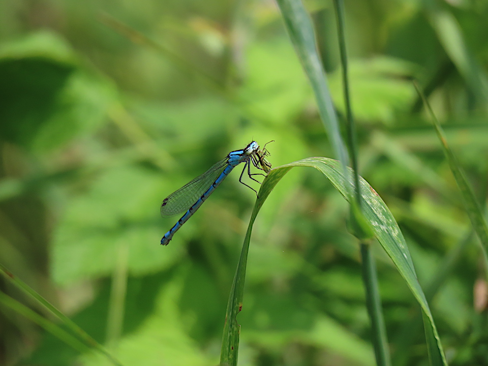 La Libellule bleue (Coenagrion interrogatum, Subarctic Bluet)